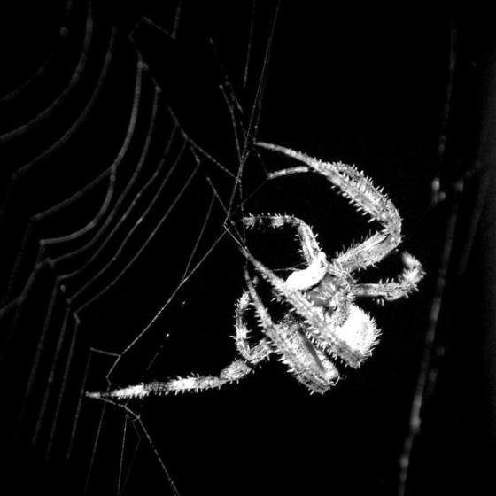 spider (Medium)